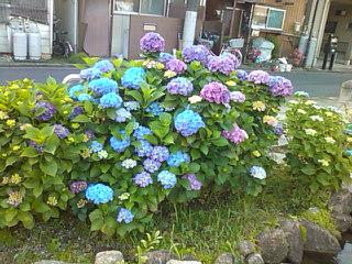 綺麗な紫陽花